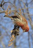 Pine grosbeak Royalty Free Stock Photography