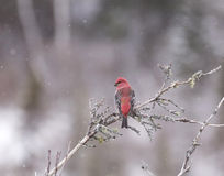 Pine Grosbeak Royalty Free Stock Photos