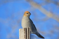 Pine grosbeak Royalty Free Stock Photo