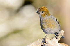 Pine Grosbeak on a branch Stock Images