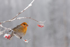 Pine Grosbeak eating frozen rowan berries Royalty Free Stock Photos