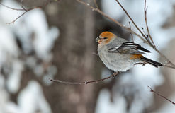 The Pine Grosbeak (female) Stock Photos