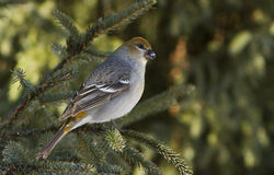 Pine Grosbeak female Royalty Free Stock Image