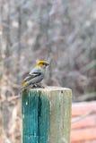Pine Grosbeak Royalty Free Stock Images