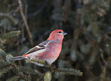Pine Grosbeak Stock Image