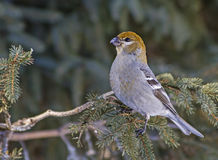 Pine Grosbeak Royalty Free Stock Images
