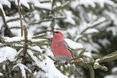 PINE GROSBEAK MALE Stock Photo