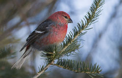 Male Pine Grosbeak Stock Image