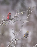Pine Grosbeak pair. A beautiful pair of Pine Grosbeaks (Pinicola enucleator) at Algonquin Provincial Park, Canada Stock Photos
