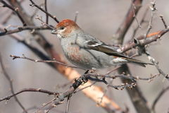Pine Grosbeak (pinicola enucleator leucura). Immature male Pine Grosbeak wintering in Vermont Royalty Free Stock Photography
