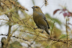 Pine Grosbeak, Pinicola enucleator Royalty Free Stock Photo