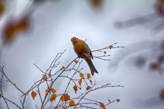 Pine grosbeak Pinicola enucleator is typical bird of taiga Royalty Free Stock Image