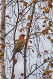Pine grosbeak Pinicola enucleator is typical bird of taiga Royalty Free Stock Photography