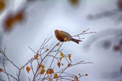 Pine grosbeak Pinicola enucleator is typical bird of taiga Royalty Free Stock Photos