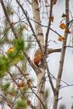 Pine grosbeak Pinicola enucleator is typical bird of taiga Stock Image