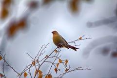 Pine grosbeak Pinicola enucleator is typical bird of taiga Stock Photos