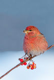 Pine Grosbeak Stock Photography