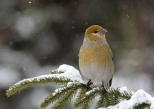 PINE GROSBEAK IN WINTER Royalty Free Stock Photo