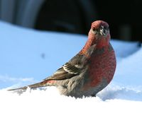 Pine Grosbeak in Winter. A pine grosbeak sitting on a snow in the winter Royalty Free Stock Photo