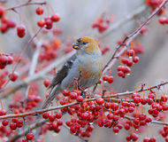 Pine Grosbeaks stock image