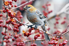 Pine grosbeaks. Beautifully colored female grosbeak make a quick stop to eat crabapples on a late winter day Royalty Free Stock Images