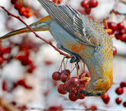 Pine grosbeaks Royalty Free Stock Photography