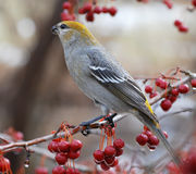 Pine grosbeaks. Beautifully colored female grosbeak make a quick stop to eat crabapples on a late winter day Stock Photo