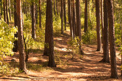 Pine grove royalty free stock images