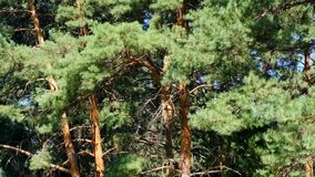 Pine grove old beautiful trees. On a bright sunny day, filmed using zooming and moving the camera stock video