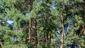 Pine grove old beautiful trees. On a bright sunny day, filmed using zooming and moving the camera stock footage