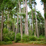 Pine grove Stock Photography