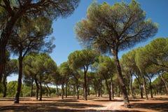 Pine grove Royalty Free Stock Photo