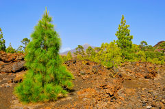 Pine grove in Teide National Park, Tenerife, Spa Royalty Free Stock Photography
