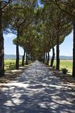 Pine grove to italian vineyard Royalty Free Stock Photos