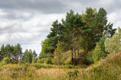 Pine grove and under the dramatic cloudy sky Royalty Free Stock Photos