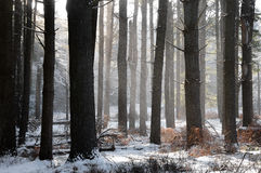 Pine Grove in Winter. Pine tree grove in the winter with snow misting through the trees Royalty Free Stock Photo