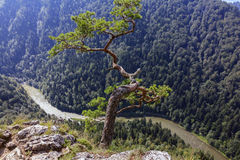 Pine growing above deep mountain gorge Royalty Free Stock Image