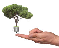 Pine growing from the base of the light bulb Stock Image