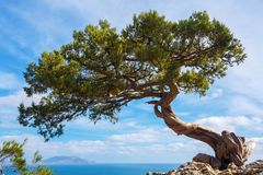 Pine growing on a cliff above a precipice on a sunny day. royalty free stock photography