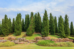 Pine is growing Royalty Free Stock Images