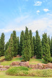 Pine is growing Royalty Free Stock Photos