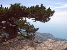 Pine growing on a rock above the town and the sea Royalty Free Stock Images