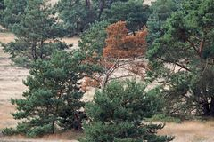 Pine growing on the Veluwe Stock Photo
