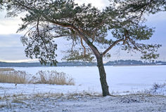 The pine grows on the bank of Vistula Lagoon. Winter landscape Royalty Free Stock Photography