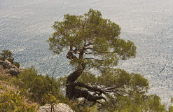 Pine grows on the mountainside above the shore of the sea Royalty Free Stock Photo