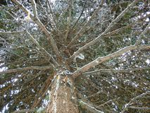 PINE GROWTH IN WHITE SNOW, largeON TOP, PINE BRANCH. January royalty free stock image