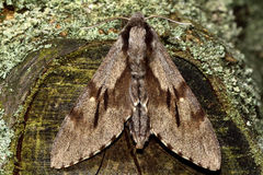 Pine hawk-moth (Hyloicus pinastri) from above Stock Images