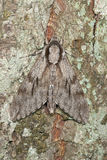 Pine Hawk-moth (Sphinx pinastri) Stock Photography