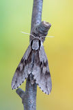 Pine hawk-moth - Sphinx pinastri Royalty Free Stock Photography