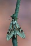 Pine hawk-moth - Sphinx pinastri Royalty Free Stock Photography